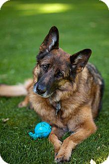 German Shepherd Dog Dog for adoption in Rochester/Buffalo, New York - Jenny