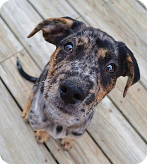 Catahoula Leopard Dog/Retriever (Unknown Type) Mix Puppy for adoption in Westport, Connecticut - *Cabo - PENDING
