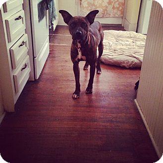 Boxer Mix Dog for adoption in Irmo, South Carolina - Buddy