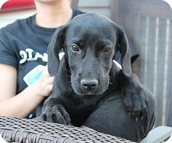 Labrador Retriever/Hound (Unknown Type) Mix Puppy for adoption in Philadelphia, Pennsylvania - Jerry