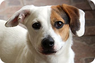Basset Hound/Beagle Mix Dog for adoption in Tampa, Florida - Chuffie - Cute Low Rider!