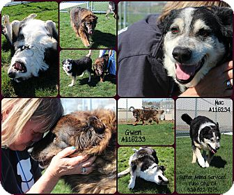 Border Collie Mix Dog for adoption in Yuba City, California - 02/07 Gwen and Mac