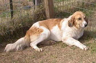 Great Pyrenees Mix Dog for adoption in Seguin, Texas - Crystal