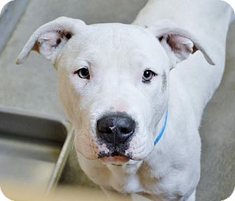 American Bulldog Mix Dog for adoption in Los Angeles, California - Casper