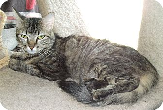 Domestic Mediumhair Cat for adoption in Plano, Texas - BEGONIA - PRIMO LAP KITTY!!!