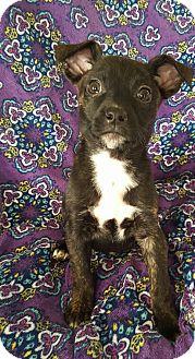 Dachshund Mix Puppy for adoption in Hainesville, Illinois - Pepper
