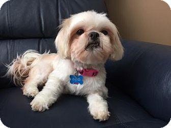 Shih Tzu Dog for adoption in London, Ontario - Khaleesi