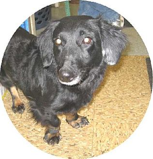Dachshund Mix Dog for adoption in Kankakee, Illinois - Ladybug