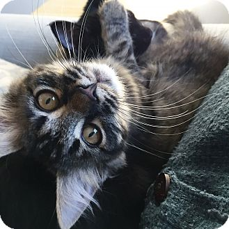 Domestic Mediumhair Cat for adoption in St. Louis, Missouri - Darcy