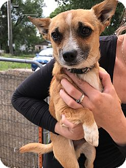 Chihuahua Mix Dog for adoption in Torrington, Wyoming - Max