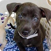 Adopt A Pet :: Bebop - Weston, FL