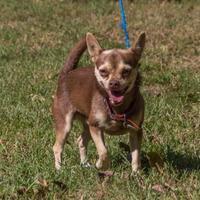 Chihuahua/Boston Terrier Mix Dog for adoption in Hopkins, South Carolina - Kazuo