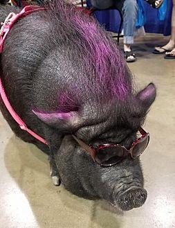 Pig (Farm) for adoption in Columbus, Ohio - Schnitzel