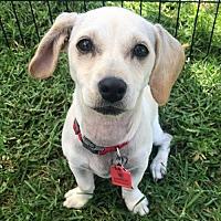 Adopt A Pet :: Denise Pup - Devon - San Diego, CA