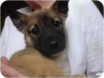 German Shepherd Dog Mix Puppy for adoption in Old Bridge, New Jersey - Lee