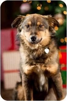 Australian Shepherd Mix Dog for adoption in Portland, Oregon - Samantha