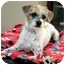 Photo 1 - Terrier (Unknown Type, Small) Mix Puppy for adoption in La Costa, California - Trooper