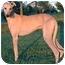 Photo 2 - Greyhound Dog for adoption in Dallas, Texas - Thornton