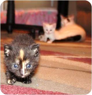 Domestic Shorthair Kitten for adoption in Xenia, Ohio - Kate