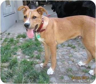 Boxer/Shepherd (Unknown Type) Mix Puppy for adoption in Los Angeles, California - Broadway
