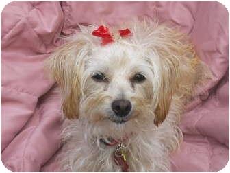 Terrier (Unknown Type, Small) Mix Dog for adoption in Sacramento, California - Kiki