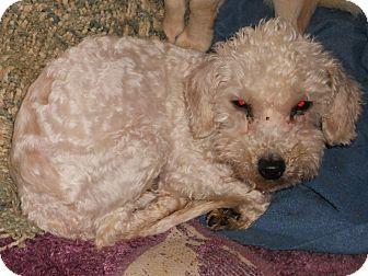 Poodle (Miniature) Mix Dog for adoption in Aloha, Oregon - Poodle