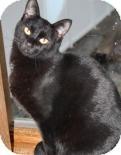 Domestic Shorthair Cat for adoption in West Des Moines, Iowa - Finn
