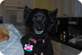 Pomeranian Mix Dog for adoption in Las Vegas, Nevada - Lucy FOSTER NEEDED