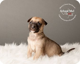 American Pit Bull Terrier/Bull Terrier Mix Puppy for adoption in Medina, Ohio - Lola
