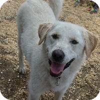 Labrador Retriever Mix Dog for adoption in Merritt, British Columbia - Hannah