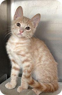 Domestic Shorthair Kitten for adoption in Dublin, California - Freckles