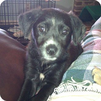 Terrier (Unknown Type, Small) Mix Puppy for adoption in Bedminster, New Jersey - BLOSSOM