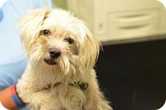 Bichon Frise/Maltese Mix Dog for adoption in Philadelphia, Pennsylvania - Neo