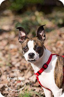 Boston Terrier/Chihuahua Mix Dog for adoption in Greensboro, North Carolina - Monty