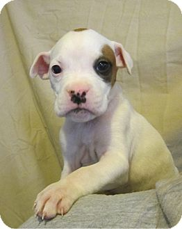 Boxer/Labrador Retriever Mix Puppy for adoption in Medora, Indiana - Doc