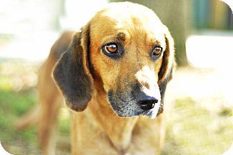 Bloodhound/Beagle Mix Dog for adoption in Groveland, Florida - Winona
