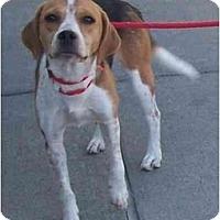 Adopt A Pet :: Honey - Toronto/Etobicoke/GTA, ON