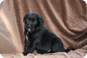 Boxer Mix Puppy for adoption in West Milford, New Jersey - DOZER