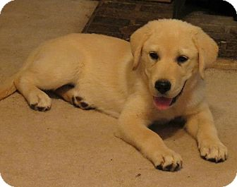 Great Pyrenees/Labrador Retriever Mix Puppy for adoption in Conway, New Hampshire - Alyse