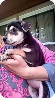 Miniature Pinscher Mix Puppy for adoption in Hainesville, Illinois - Kylie