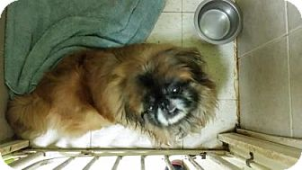 Pekingese Mix Dog for adoption in Philadelphia, Pennsylvania - Fluff Ball