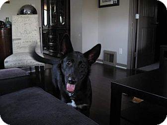 Border Collie/Shepherd (Unknown Type) Mix Dog for adoption in Edmonton, Alberta - Izzy