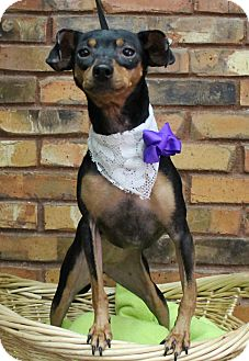 Manchester Terrier Mix Dog for adoption in Benbrook, Texas - Abby