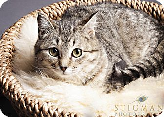 Domestic Shorthair Cat for adoption in Detroit Lakes, Minnesota - Velma