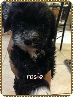 Maltese/Poodle (Miniature) Mix Puppy for adoption in Rosamond, California - Rosie