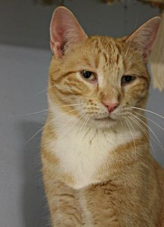 Domestic Shorthair Cat for adoption in New Richmond,, Wisconsin - Marty Jr
