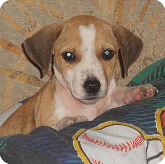 Beagle Mix Puppy for adoption in Brookeville, Maryland - Bridget