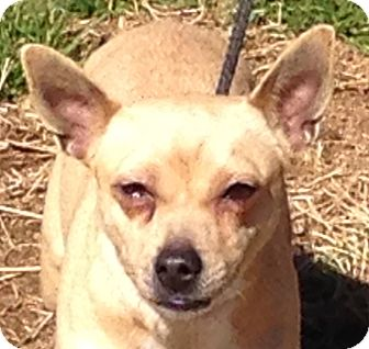Chihuahua Mix Dog for adoption in Hagerstown, Maryland - Lucie