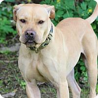 Adopt A Pet :: Capone - Tampa, FL
