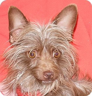 Terrier (Unknown Type, Small) Mix Dog for adoption in Spokane, Washington - Sheba